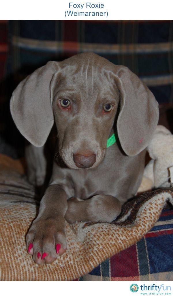 Foxy Roxie Weimaraner Weimaraner Puppies Weimaraner Weimaraner Dogs