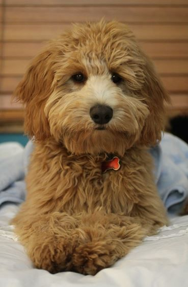 Miniature Goldendoodle Breed Information, Photos, and