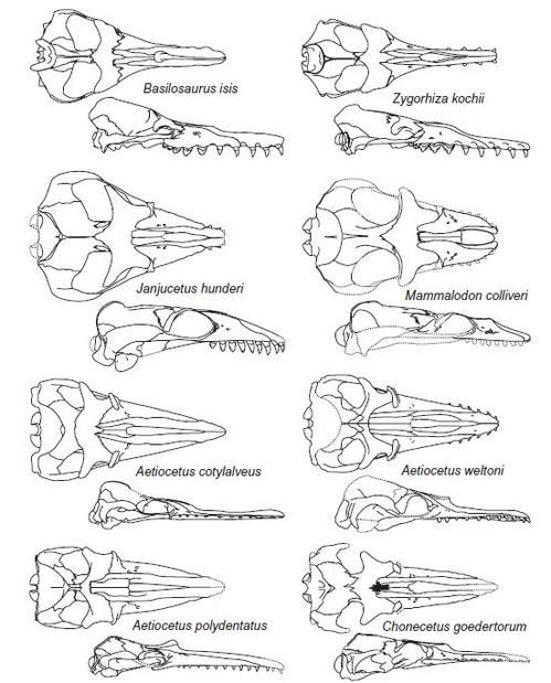 A collection of fossil whale skulls (from Fitzgerald 2009