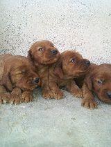 MIL ANUNCIOS.COM - Setter irlandes. Compra-venta de perros setter irlandes. Regalo de cachorros..