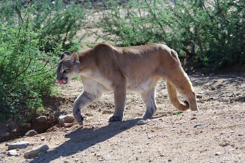 cougars in phoenix az
