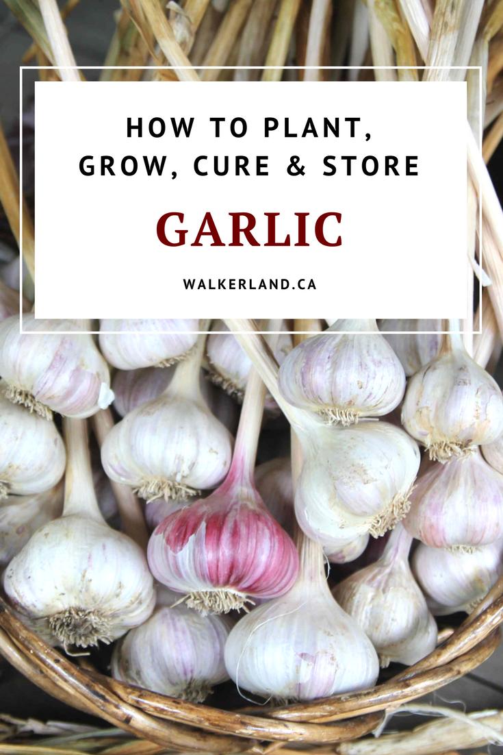 die besten 25 how to store garlic ideen auf pinterest kartoffeln aufbewahren. Black Bedroom Furniture Sets. Home Design Ideas