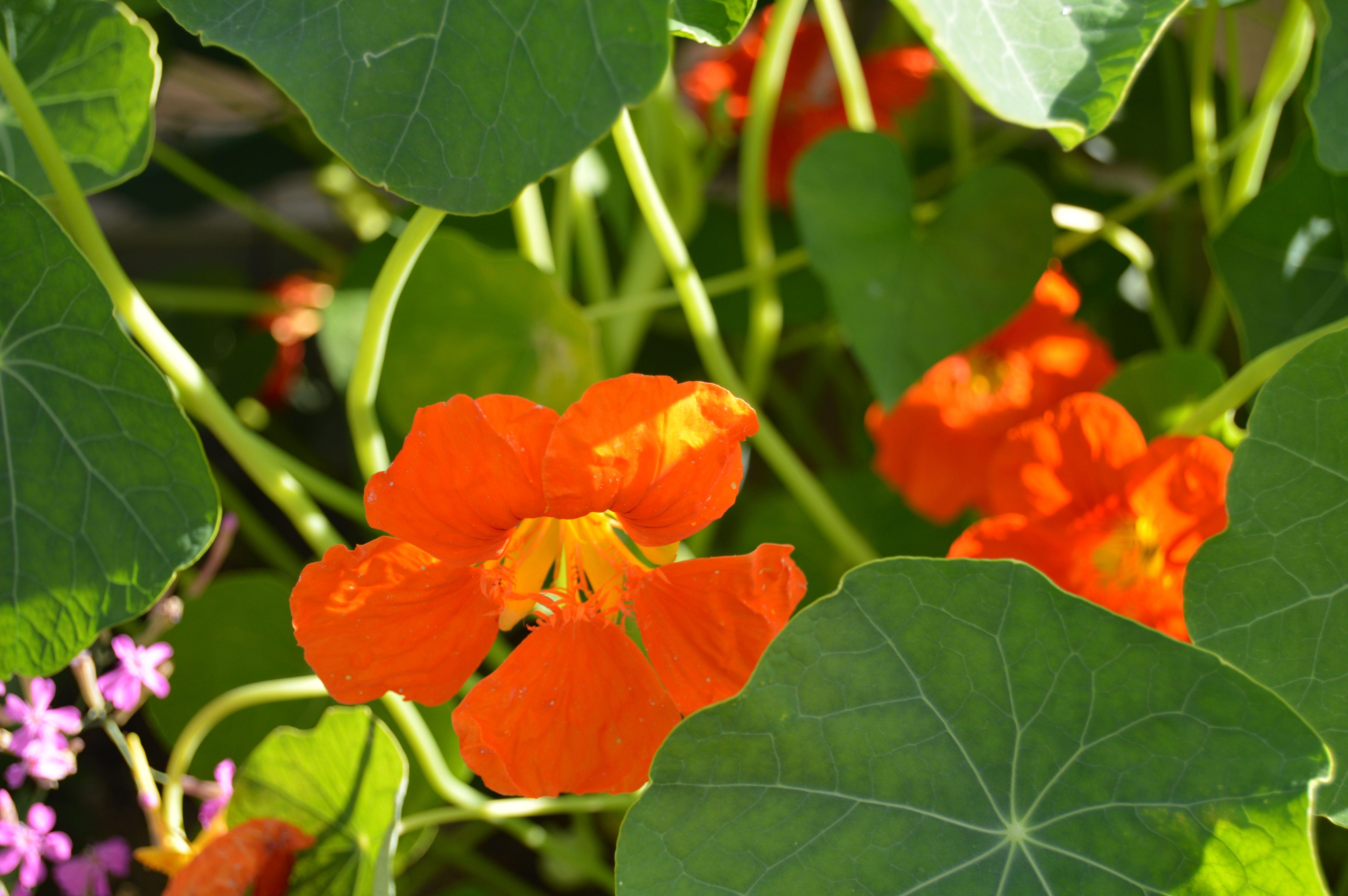 Capucine | Fleurs, Capucine, Plante