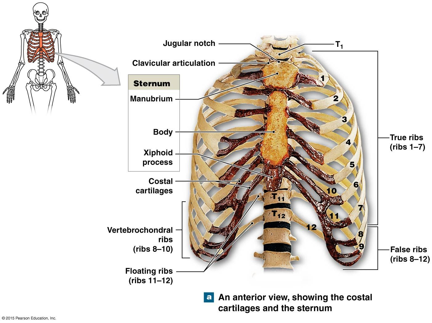 The Thoracic Cage An Anterior View Anatomy And Physiology