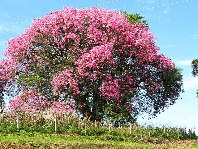Paineira Rosa Barriguda Ceiba Speciosa Em Mogi Mirim Sp Brasil Trees To Plant Flowering Trees Plants
