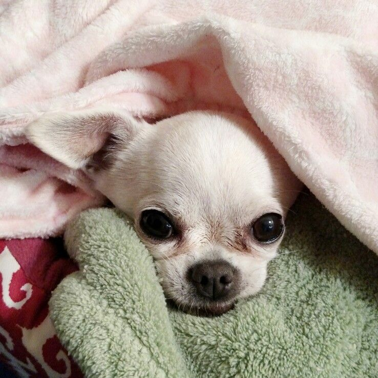 Chihuahua Mommy Chihuahua Mommy Dog Furbaby Teacup