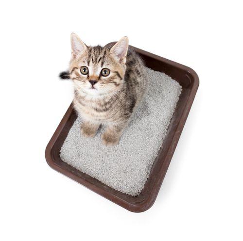Como Hacer Arena Casera Para Gatos Con Imagenes Gatos Bandeja