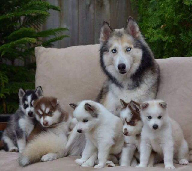 Mami Image Saved From Thegoodvybe Tumblr Com Siberian Huskies