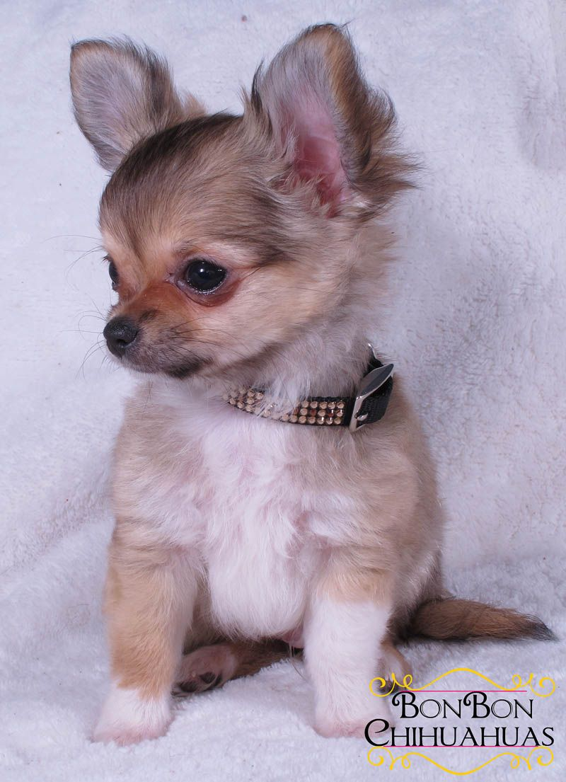 Chihuahua Puppies For Sale Chihuahua Puppies For Sale Teacup Chihuahua Puppies Chihuahua Puppies