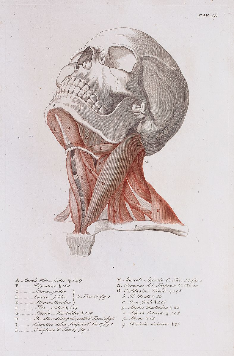 Anatomical diagram of the muscles of the neck | Neck anatomy ...