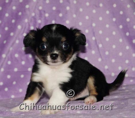 Devon Gorgeous Long Coat Black Tri Chihuahua Chihuahua Breeders