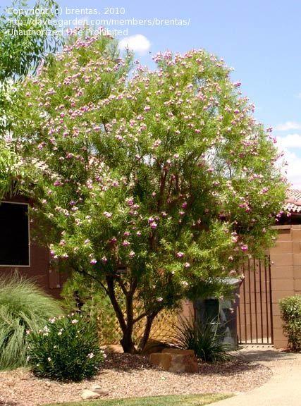 Full Size Picture Of Timeless Beauty Desert Willow Desert Catalpa