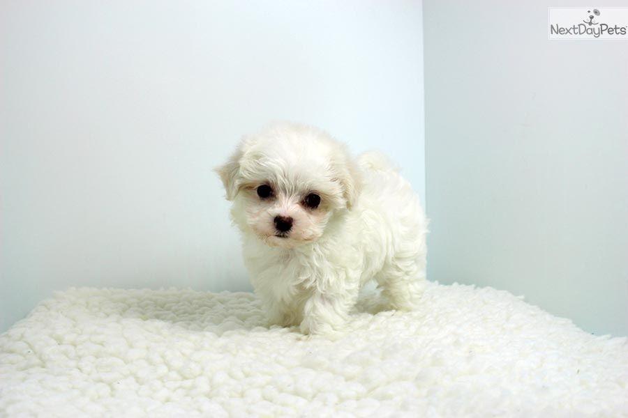Maltese Puppy For Sale Near Los Angeles California 9a826cc7