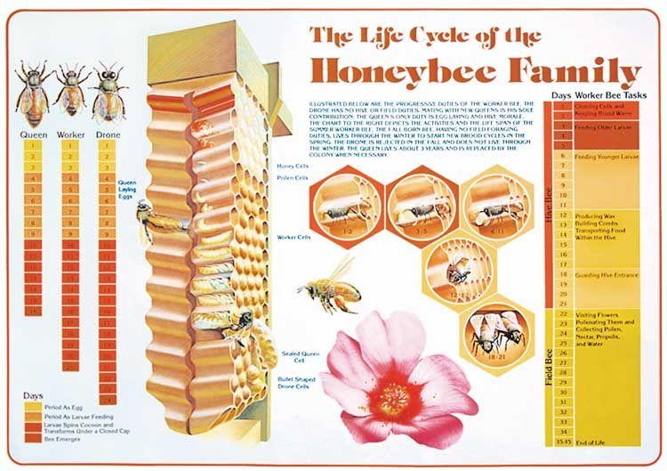 Life Cycle Chart Honey bee life cycle, Bee keeping