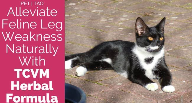Alleviate Cat Rear Leg Weakness With Hindquarter Weakness Cats Holistic Pet Care Cat Health