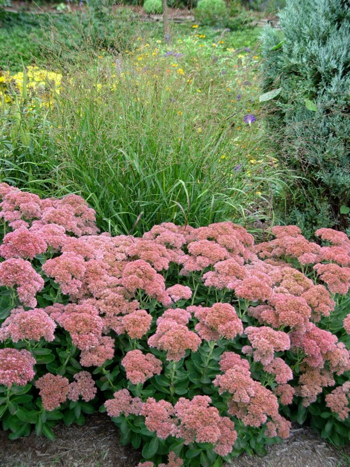 Wunderbar Herbstpflanzen Sedum Gartendeko Ideen Gartenpflanzen Garten Verschönern