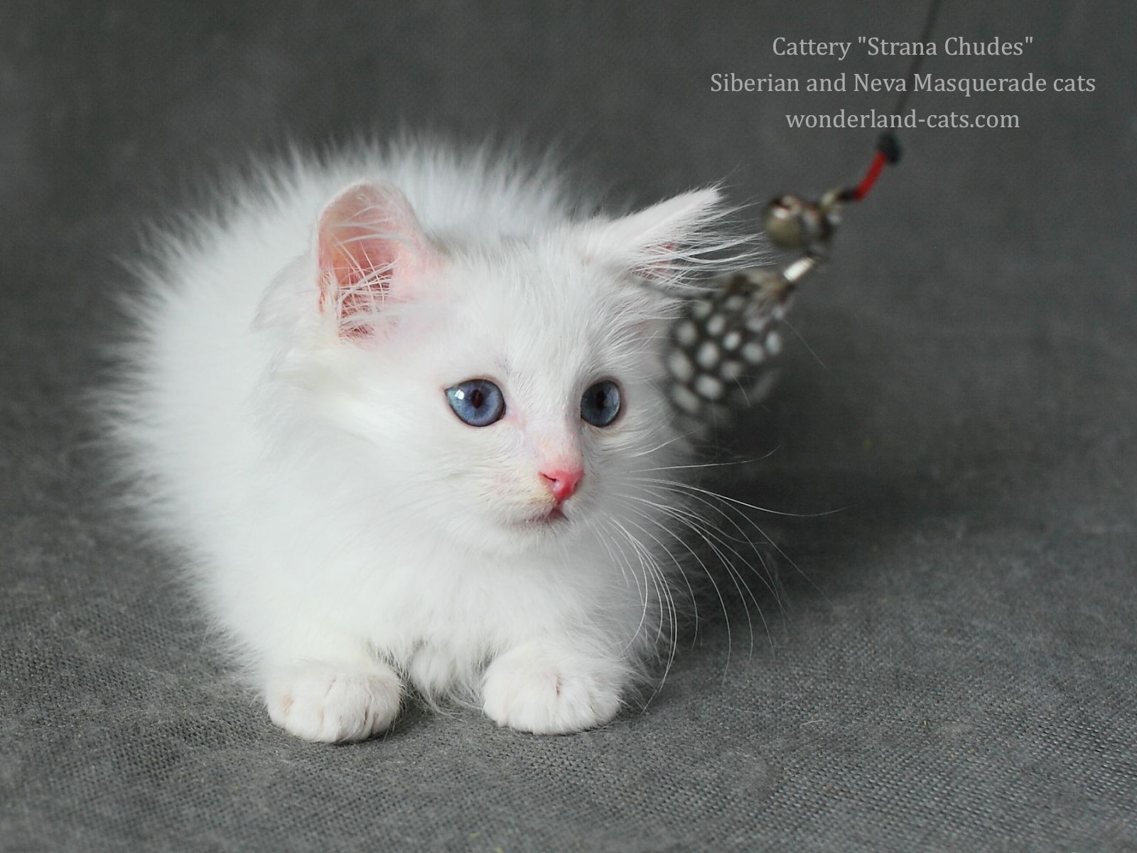 Russian Siberian beautiful, cute white kitten, blue eyes