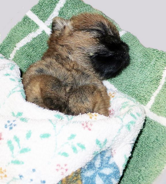 Sleeping Cairn Terrier Puppies Cairn Terrier Border Terrier Puppy