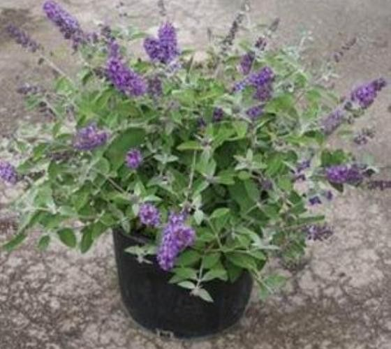 flutterby blue heaven butterfly bush stuff to buy butterfly