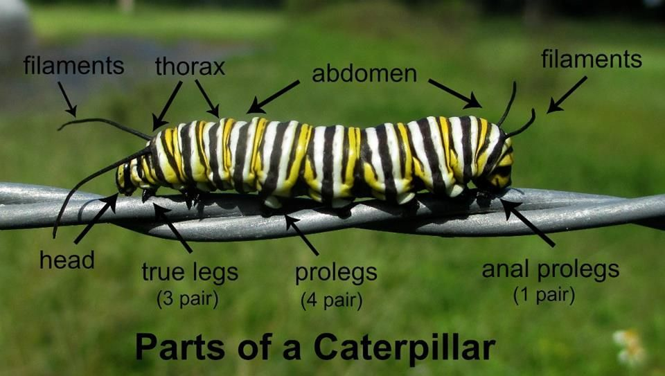 parts of a caterpillar Lepidoptera Monarch caterpillar, Monarch