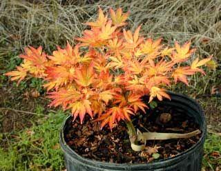 Acer Palmatum 'Aratama'  pondandgardennursery.com