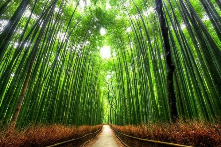 Bosque de Bambú, Japón.