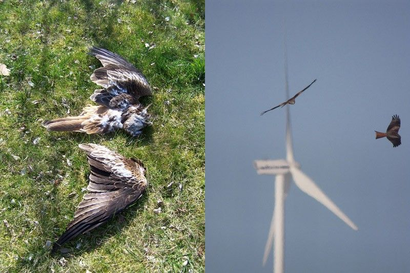 Wind turbines kill birds and bats. Raptors are then attracted to ...