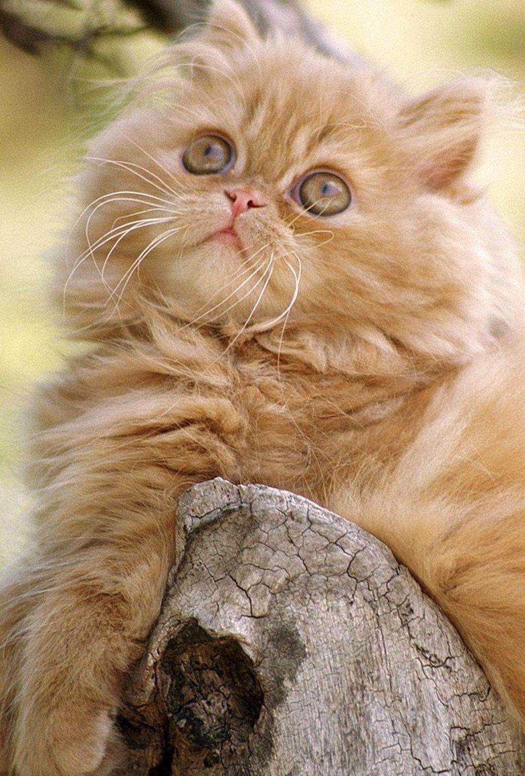 Fluffy cat breeds, Cats