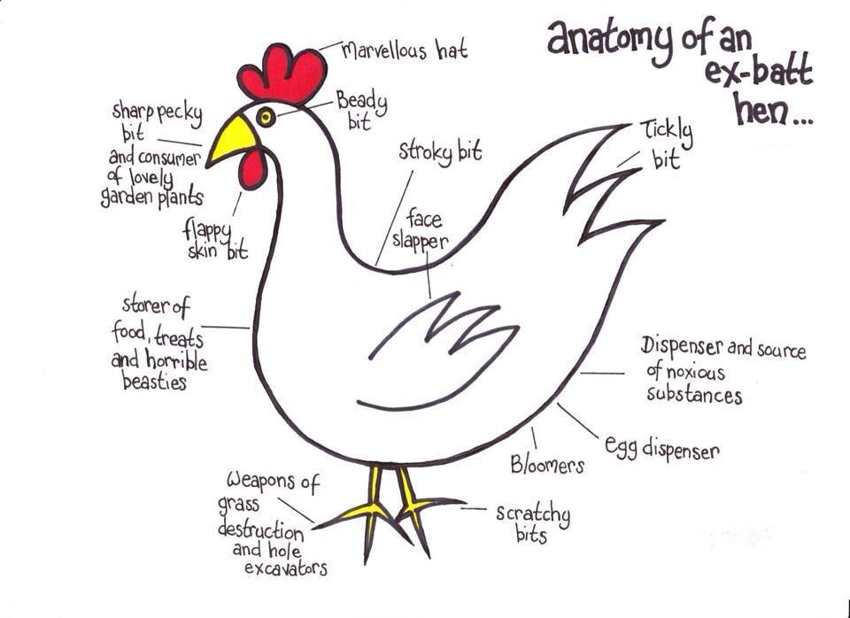 Chicken anatomy haha   Buk buk!   Pinterest   Anatomy