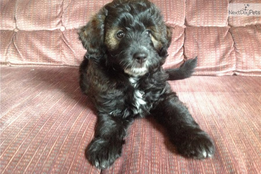 Carmel Sheepadoodle Puppy For Sale Near Cincinnati Ohio Onya Sheepadoodle Puppy For Sale In Ohio Sheepadoodle Pup In 2020 Sheepadoodle Puppy Puppies For Sale Puppies