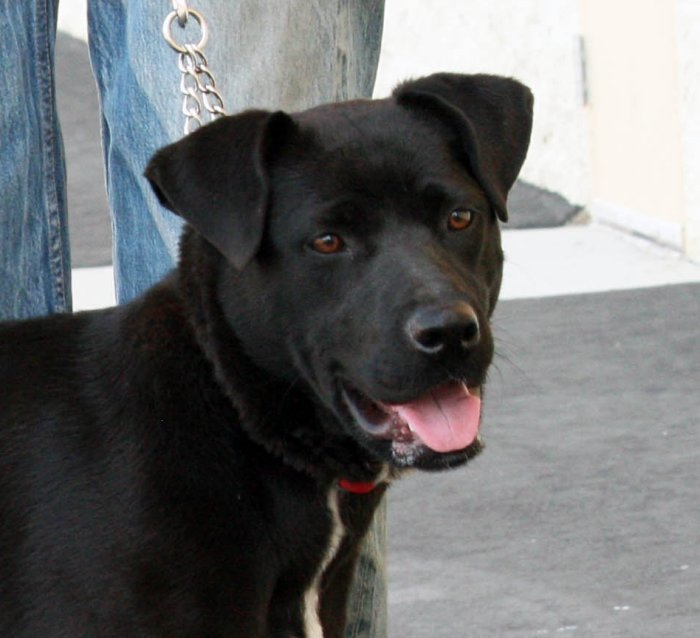 Adopt Callie On Labrador Retriever Labrador Retriever