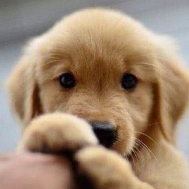 Too Cute Cute Animals Puppies Retriever Puppy