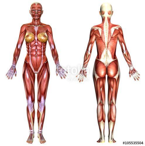 3D female body anatomy   Human Anatomie   Pinterest   Dibujos del ...