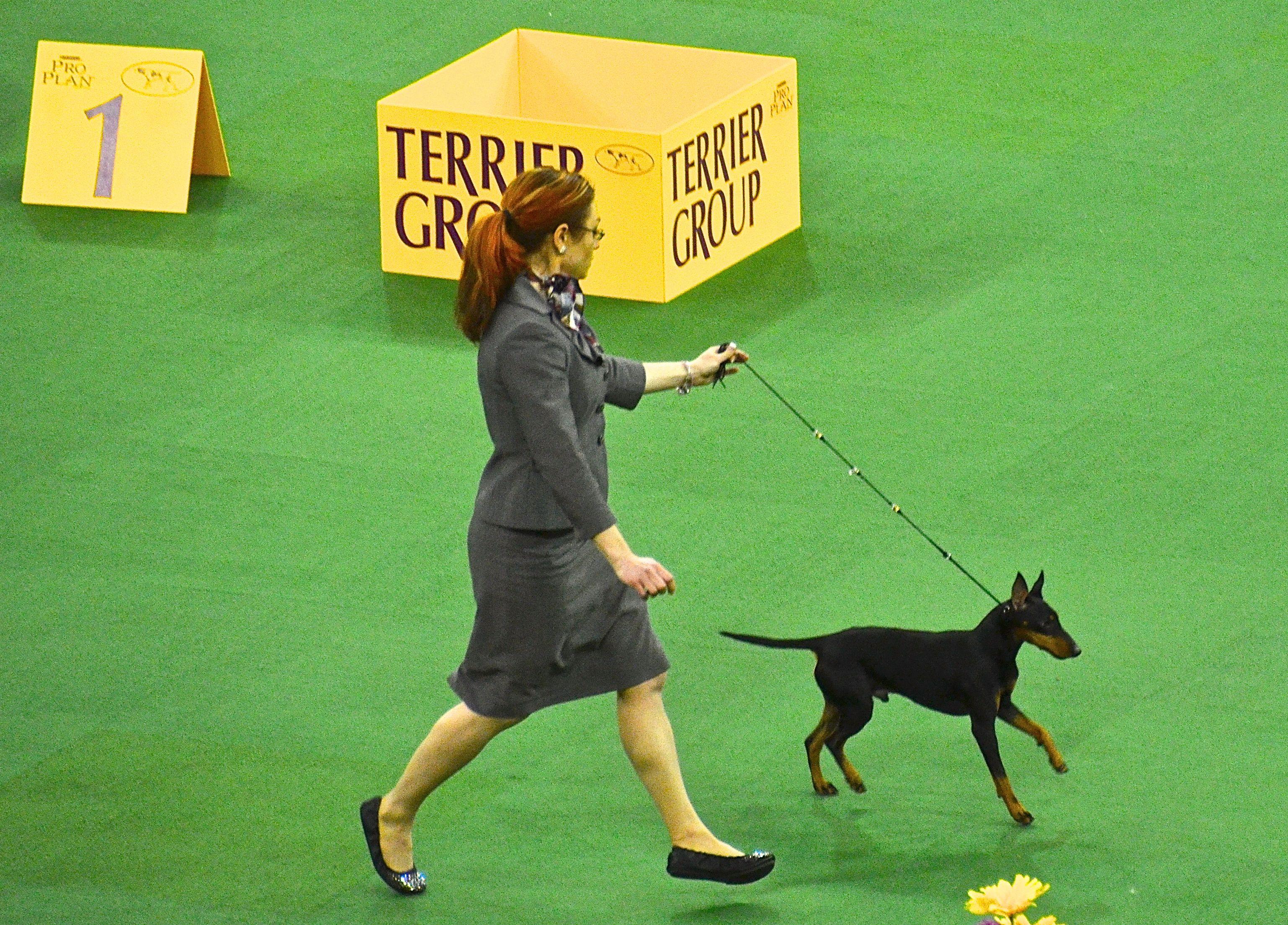 Manchester Terrier Manchester terrier, Dog breeds, Dog