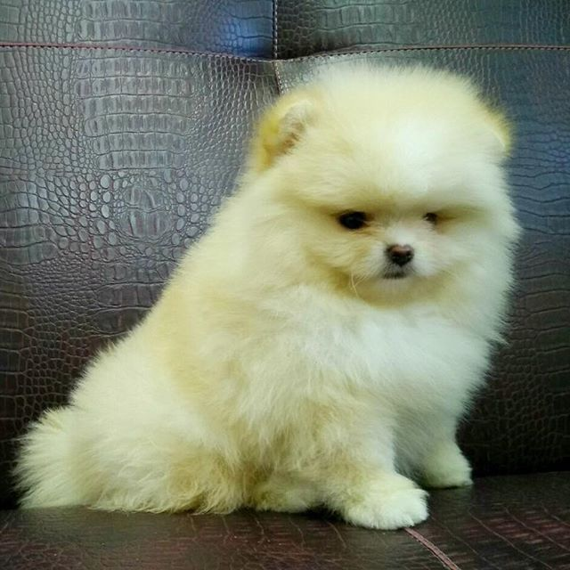 Pomeranian Puppies For Sale Get Pics And Price On Cute Animals