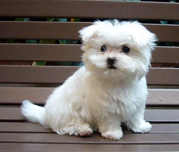 Axel Dream Mutt Maltese Puppy Maltese Puppies For Sale Teacup Puppies Maltese