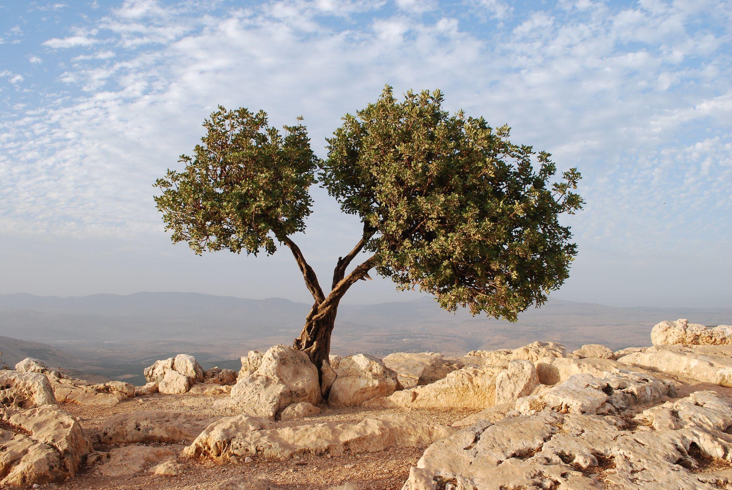 Image result for olive tree | // URRISA | evagos | Pinterest ...