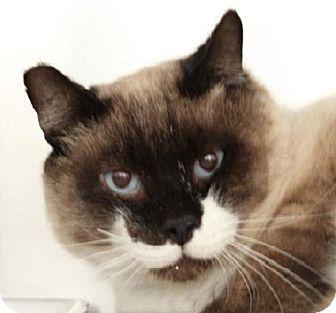 Las Vegas Nv Snowshoe Meet Catsby A Cat For Adoption Kitten Adoption Cat Adoption Pets