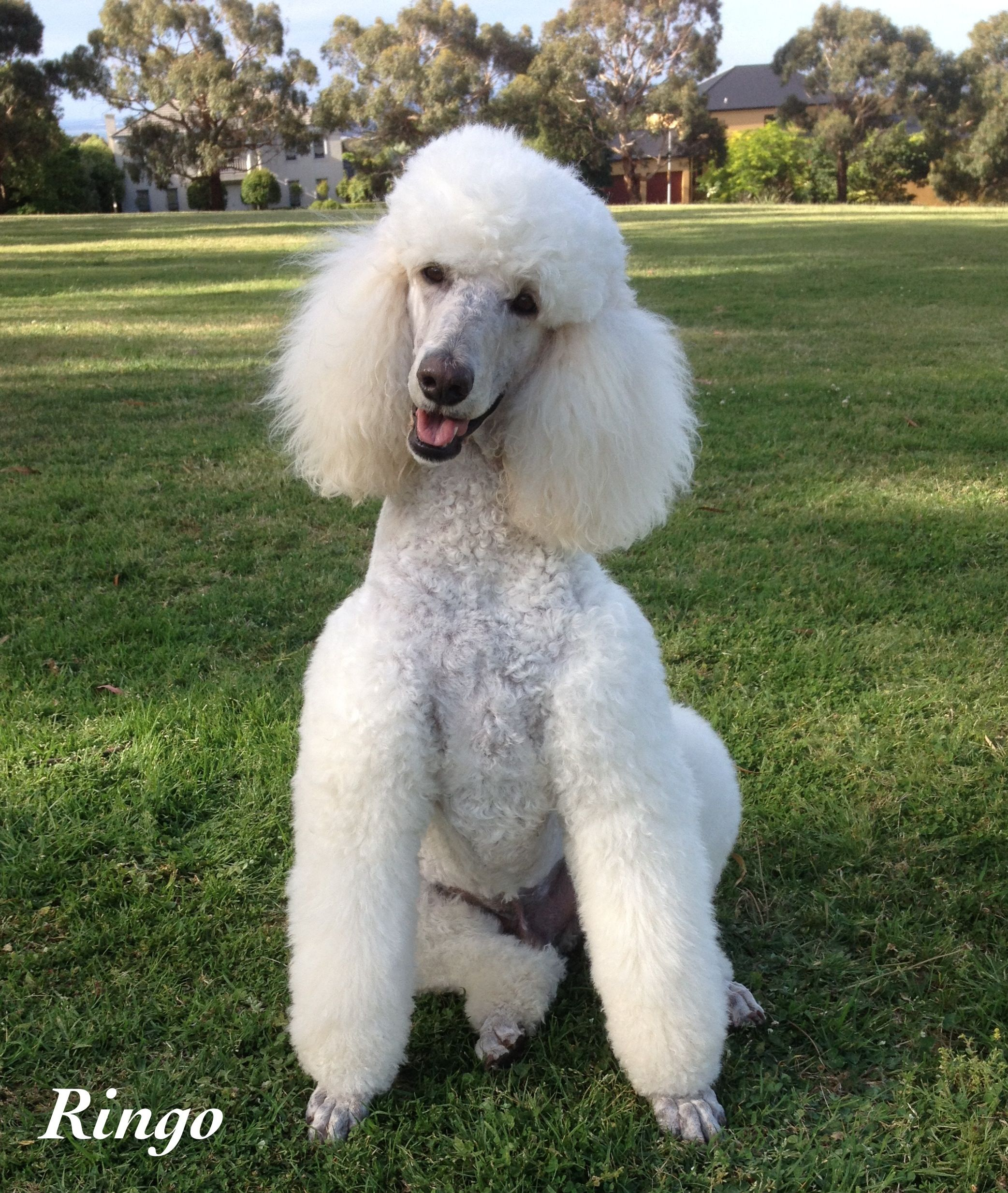 Ringo We Call This My Casual Sit Poodle Hair Poodle Dog