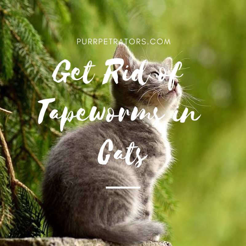 How Do Tapeworms Affect The Health Of Your Cat Cats Cat Cuddle Cat Health