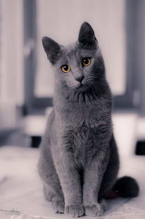 Wonder If This Will Be Sheba When She Grows Up My Grandson S Kitten Cat Breeds Cat Personalities Russian Blue Cat Personality