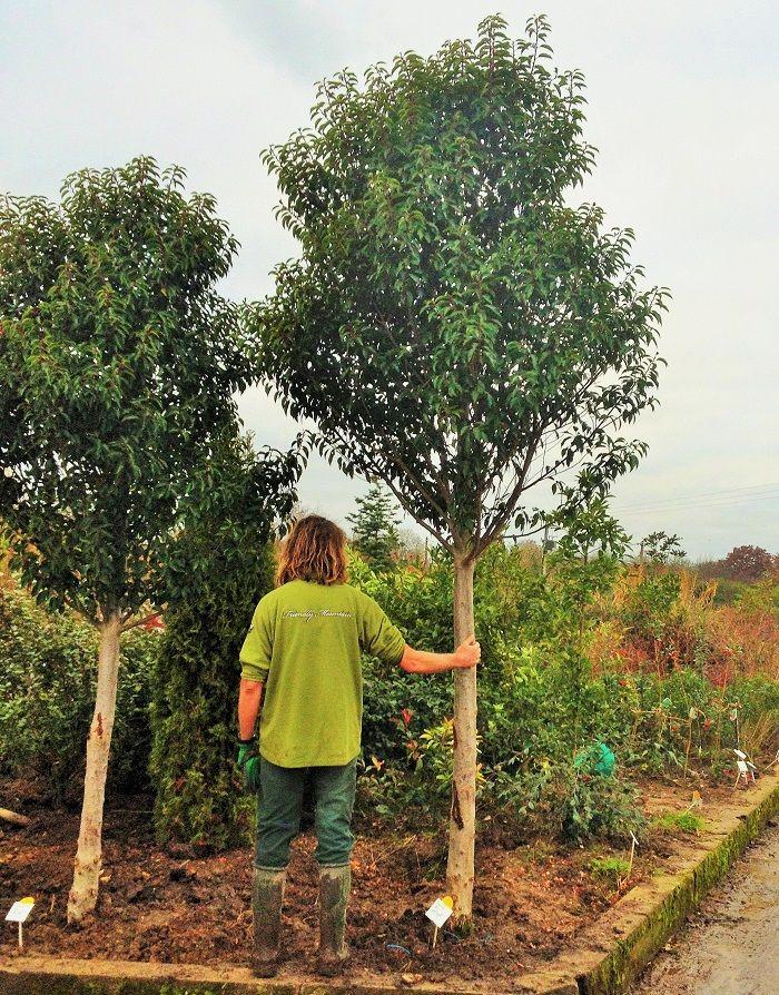 laurier du portugal en arbre de plus de 3 m tres laurier. Black Bedroom Furniture Sets. Home Design Ideas