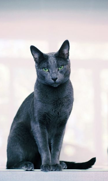 Russian Blue Cat Price Adoption Guide Diet Petco Near Me In 2020 Pets Russian Blue Cat Russian Cat
