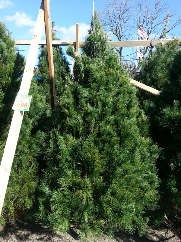 The First Time You Water Your New Christmas Tree Use Hot Off The Stove Almost Boiling Water It Loosens The Sap And Allo Fraser Fir Balsam Fir White Pine