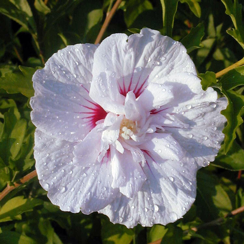 China Chiffon Hibiscus (Hibiscus Syriacus China Chiffon) Garden Shrubswhite Flowersbeautiful