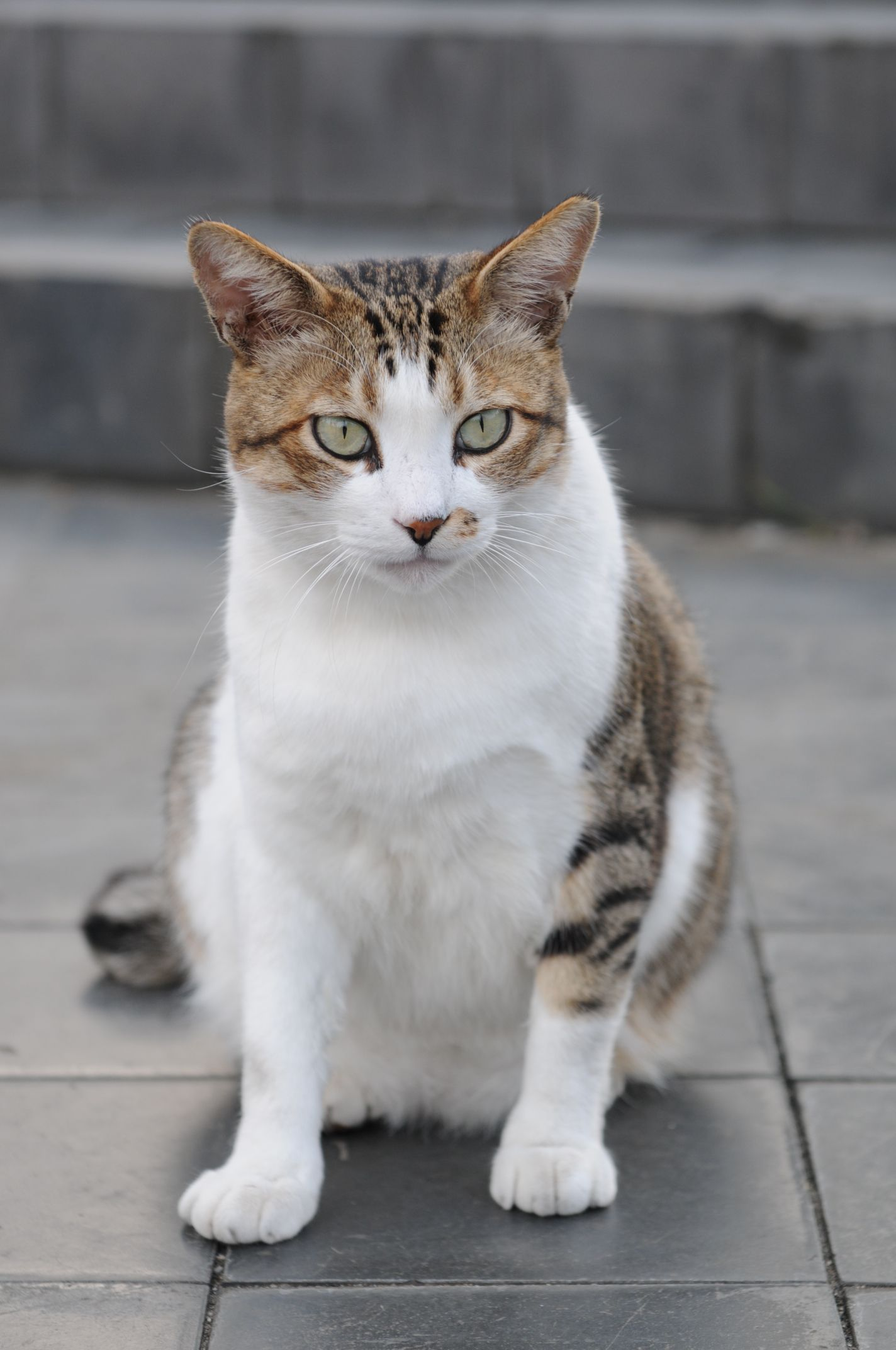 Brown And White Tabby Cat With Blue Eyes I Just Love These Cute