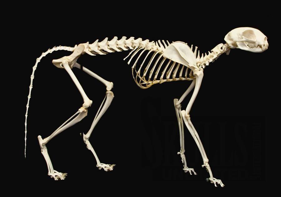 Cat Skeleton Labeled