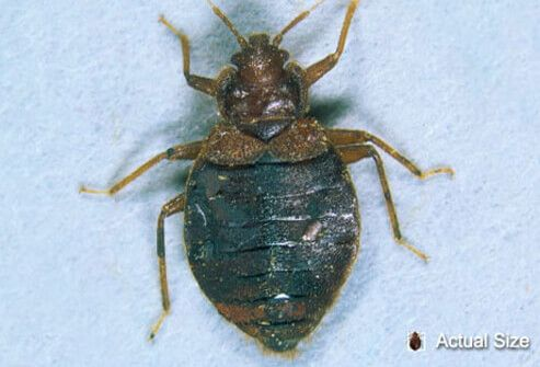 An Adult Bedbug At Actual Size And Magnified For A Closer Look