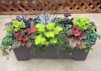 Superior Youngu0027s Garden Center :: Heuchera Lime Rickey