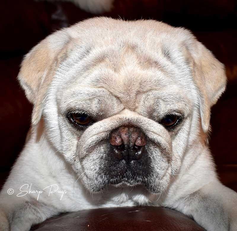 Pugtastic Pug Pictures White Pug Pugs
